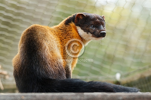 Yellow Throated Pine Martin