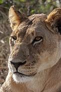 Lioness in the Savuti region of Botswana
