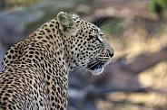 Leopard (Panthera pardus) Botswana