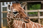 Reticulated Giraffe Calf Close Up Head Shot