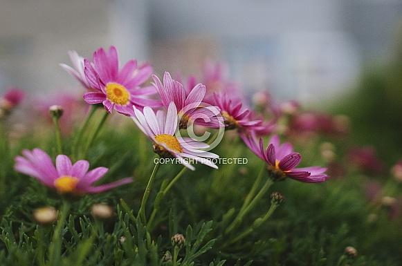 Small pink daisies