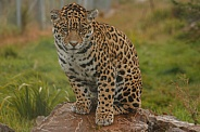 Young Jaguar sitting up on a rock.