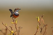 The Bluethroat bird.