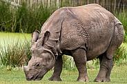 Greater One Horned Rhino Grazing Full Body