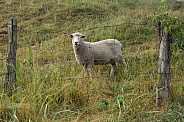 Ovis aries, domestic sheep