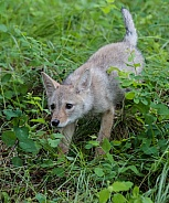 A Baby Coyote