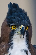 Ornate Hawk-eagle