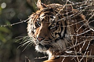 Sumatran Tiger Looking Through Bush