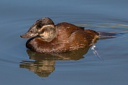 Female White-headed Duck