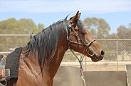 Quarterhorse Stallion