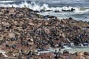 Cape Fur Seals (Arctocephalus pusillus)
