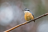 Red-breasted Nuthatch Perched on a Branch