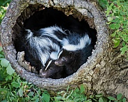 Striped Skunk Kits inside Hollow Log
