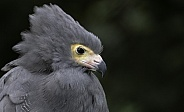 African Harrier Hawk Close Up Ruffled Feathers