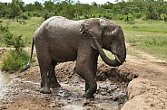 Bathing African Elephant (wild)