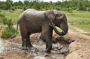 Bathing African Elephant (wild)