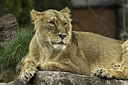 Asiatic lion , resting