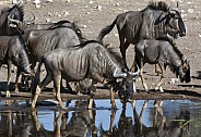 Blue Wildebeest - Etosha National Park - Namibia