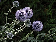 Ornamental Thistle