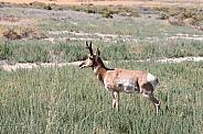 Wile Antelope, Pronghorn