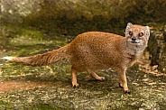 Yellow Mongoose Full Body Shot