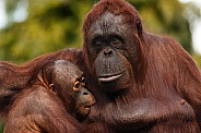 Bornean Orangutan and Baby