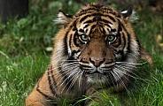 close up samatran tiger looking forward