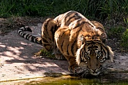 Sumatran Tiger Drinking