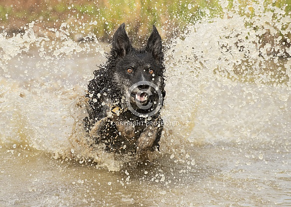 Border Collie in Water