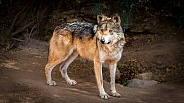 Mexican Gray Wolf Close up