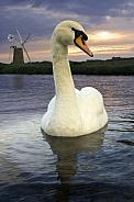 Mute Swan (Cygnus olor) England