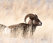 Big horn sheep (wild)