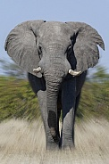 African Bull Elephant charging