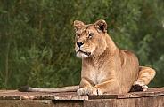 Female African Lion Lying Down Full Body
