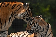 Amur Tigers Being Affectionate