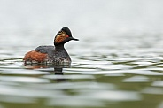 The black-necked grebe