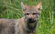 European Wolf Pup