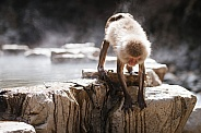 Macaque Snow Monkey