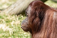 Bornean Orangutan Side Profile