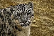 Snow Leopard Close Up Looking At Camera