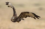 Eurasian Buzzard Buteo buteo