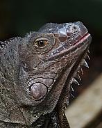 Leguaan. Monitor Lizard