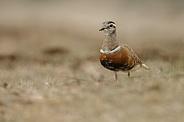 The Eurasian dotterel (Charadrius morinellus)