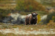 Musk-Ox or Muskox baby