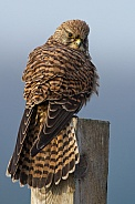 The European common kestrel