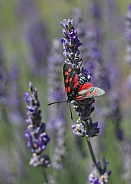 Six-Spot Burnet Moth On Lavender