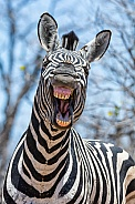 'Laughing' Zebra