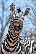 'Laughing' Zebra
