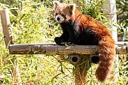 Red Panda Full Body