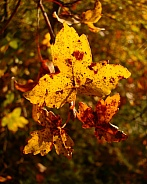 Colorful Autumn. Oak Leaves